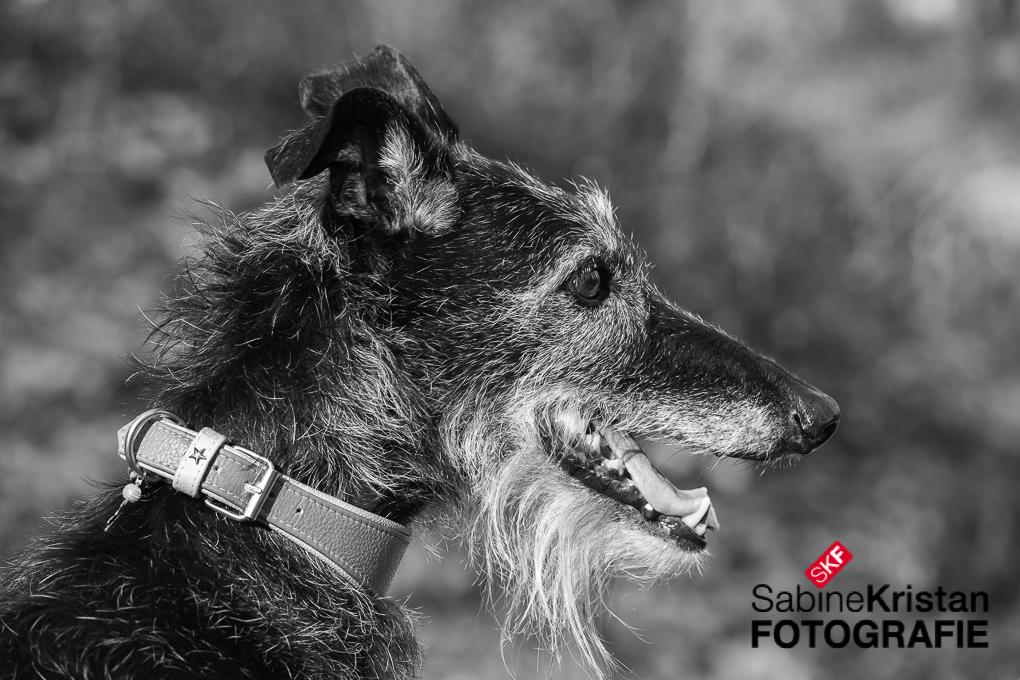 Seniorhund